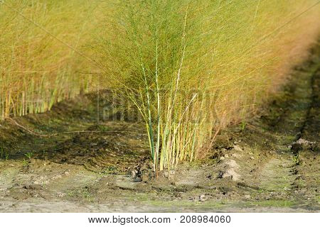 White Asparagus Plants Asparagus Officinalis On The Dutch Farm, Autumn Season.