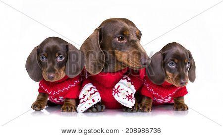 Christmas dachshund puppies  in Santa costume