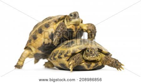 Turtles on the way to copulate, isolated on white