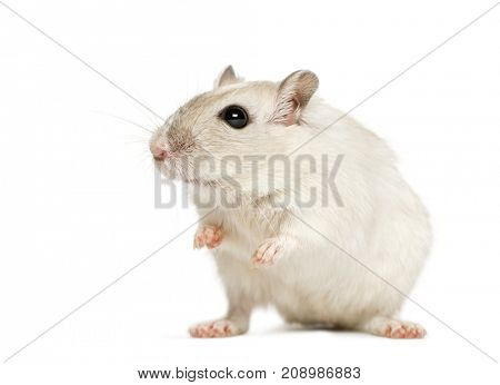 White hamster sitting, isolated on white