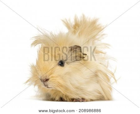 Guinea pig with long hair, isolated on white