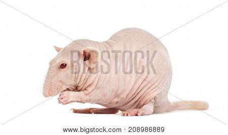 Hairless rat washes, isolated on white