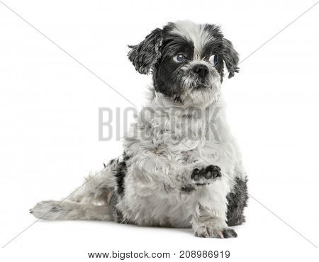 Shih tzu sitting pawing up, isolated on white
