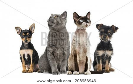 Group of cats and dogs sitting, isolated on white