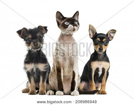 Group of dogs and cat sitting together, isolated on white