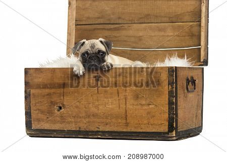 Pug lying in a wooden chest, isolated on white