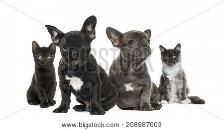 dogs and cat, Group of kittens and puppies sitting, isolated on white