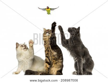 Group of cats chasing a lovebird, isolated on white