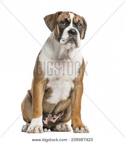 Mixed-breed dog, English bulldog and boxer, sitting, isolated on white