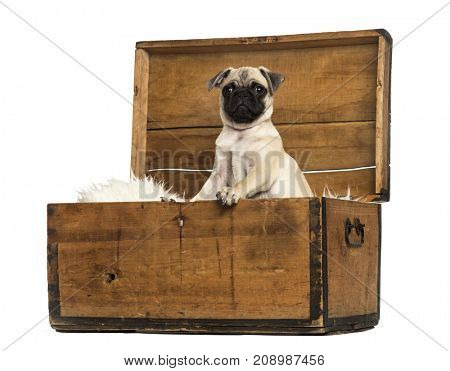 Dog, Pug sitting in a wooden chest, isolated on white
