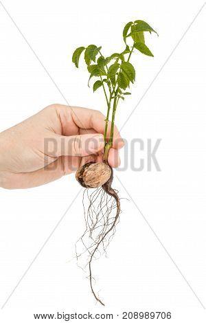 Female hand holds seedling of a walnut isolated on white background