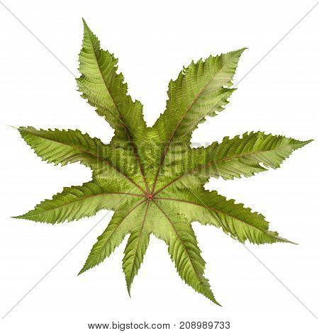Leaf Of Ricinus Communis Close-up. Isolated On White Background