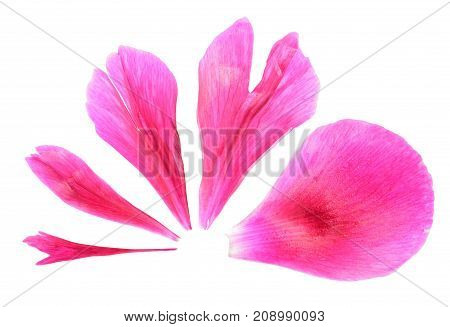 Pink petals of peony close-up isolated on white. Conceptual volume scale