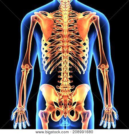 3d illustration of human body skeleton anatomy