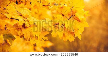 Autumn Background, Autumnal Landscapes,park,tree,fall Leaves,panoramic Banner,maple Leaf, Season