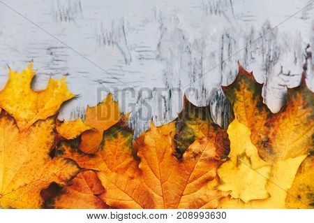 Autumn Backround Foliage, Fall Colored Maple Tree Leafs,  Texture .top View.  Beautiful Colorful Nat