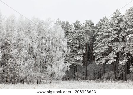 photographed coniferous and deciduous trees growing nearby in the forest in the winter season. On the branches a rime formed.