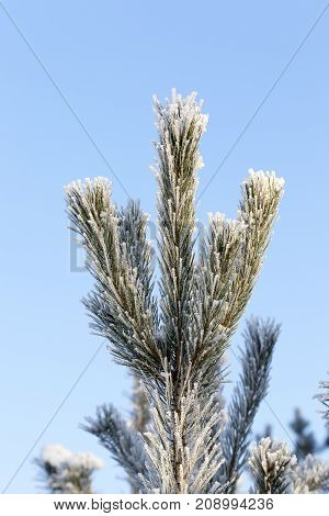pine branches covered with frost and ice crystals in the winter season, close up