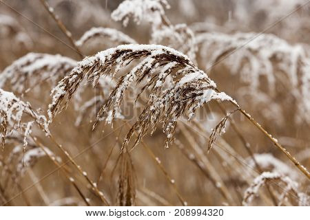 covered with snow dry yellow grass near the lake. photo close-up with a shallow depth of field