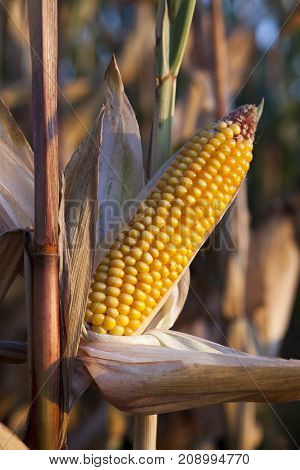 dry mature corn , growing on the territory of the farmland field in the autumn season