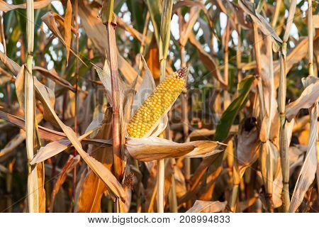 autumn field on which grows yellowed and dried corn ready for harvest. small depth of field, close up