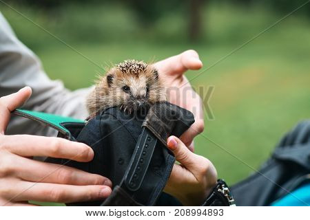 Hedgehog sitting in the hands in the Park