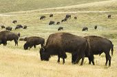 a herd of American buffalo grazingt in Custer State Park in the Black Hills of South Dakota. The largest land mammal in North America. poster