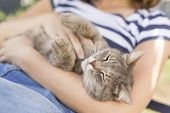 Top view of a furry tabby cat lying on its owner's lap enjoying being cuddled and purring. poster