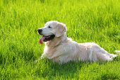 golden retriever male dog laying in grass poster