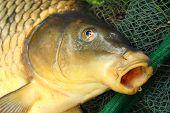The Common carp (Cyprinus carpio) in landing net. poster