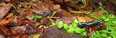 A Marbled Salamander (Ambystoma opacum) out hunting after a heavy rain in Monte Sano State Park - Alabama. poster
