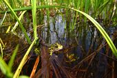 Northern Leopard Frog (Rana pipiens) at Buffalo Lake in the northwoods of Wisconsin. poster