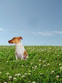 Photograph of a Jack Russell sitting in very green grass with flowers and above a beautiful blue sky. poster