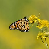A ventral view of a Monarch Butterfly (Danaus plexippus) gathering nectar from a Lance-Leafed Goldenrod plant in Frederick, Maryland, USA. poster