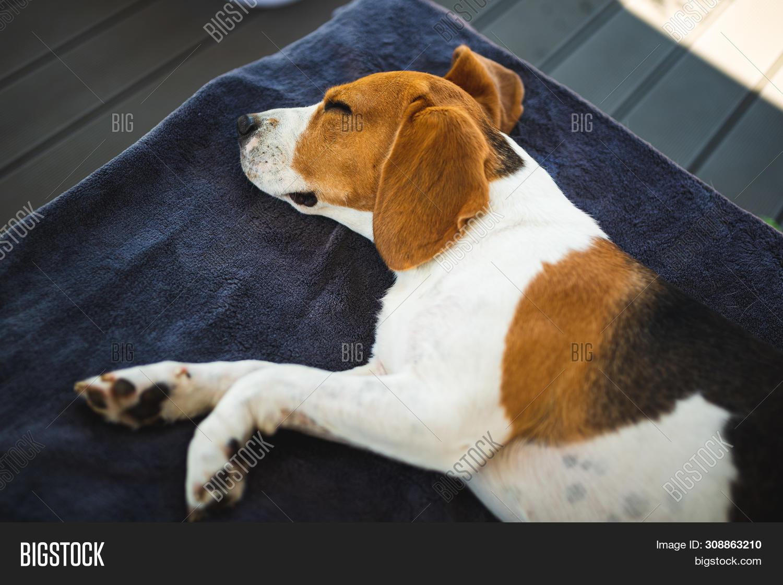 Beagle Dog Lying Down Image & Photo (Free Trial) | Bigstock