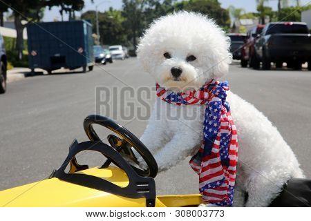 Dog in Taxi Pedal Car. A Bichon Frise dog drives her yellow Taxi Pedal Car. Driving Dog. Dog  car ride.