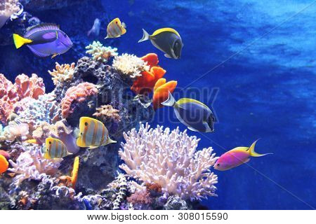 Underwater scene with beautiful tropical fish - hepatus; blue tang. On blue background. Copy space for text