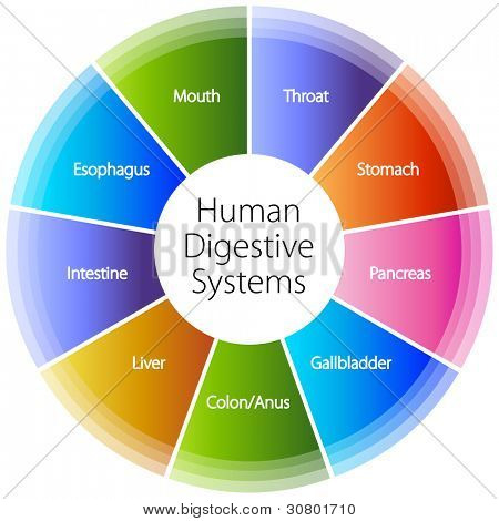 An image of a human digestive systems.