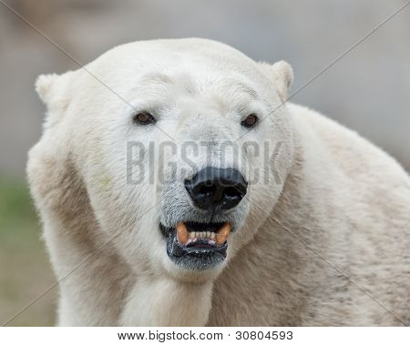 Polar bear baring teeth