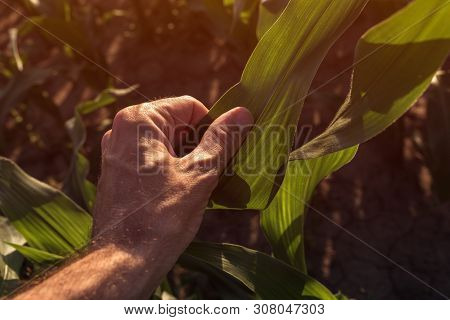 Farmer Examining Corn Crops In Field, Plant Care And Protection Agricultural Concept, Close Up Of Ha
