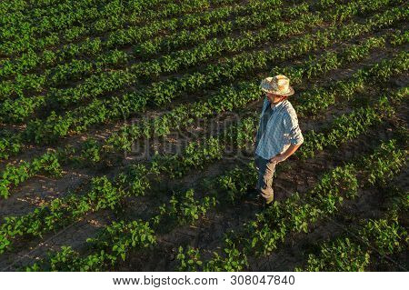 Soybean Farmer In Field, Aerial View Of Agronomist Standing In Organic Crop Plantation Observing Dev
