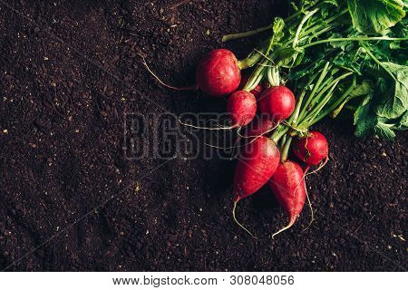 Top View Of Harvested Garden Radishes On Soil, Organic Homegrown Produce With Compost Humus Ground A