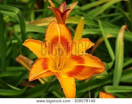 A Hybrid Lily Some Call The Yellow King Humbert
