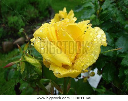 Yellow Rose After the Summer Rain