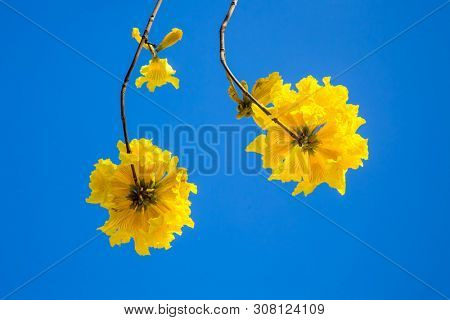 Yellow tabebuia flowers blossom on the blue sky background,Fuzhou,China