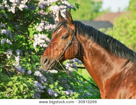 Portrait Of Wonderful Bay  Prizer Trakehner Stallion
