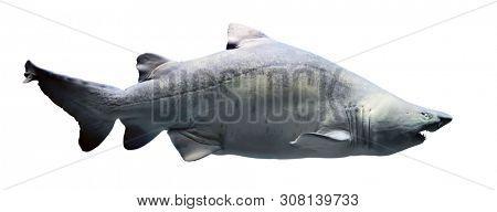 Shark isolated on white background. Full body shot