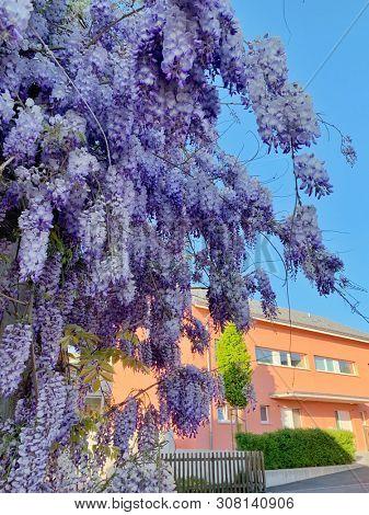 Violet wisteria flowers in spring season