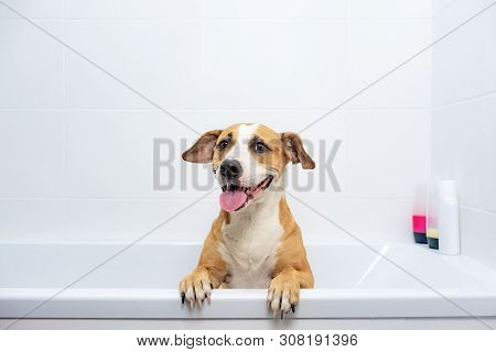 Cute Dog Sits In A Bathtub, Waiting To Get Washed. Bathing Home Pets Concept: Loyal Staffordshire Te