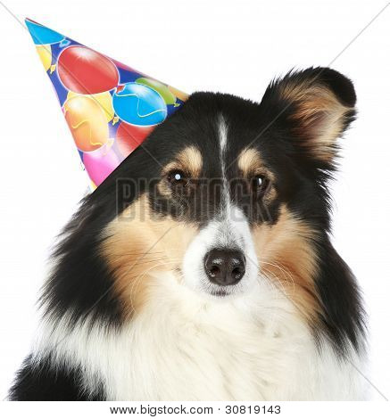 Shetland sheepdog with birthday party hat on a white background poster